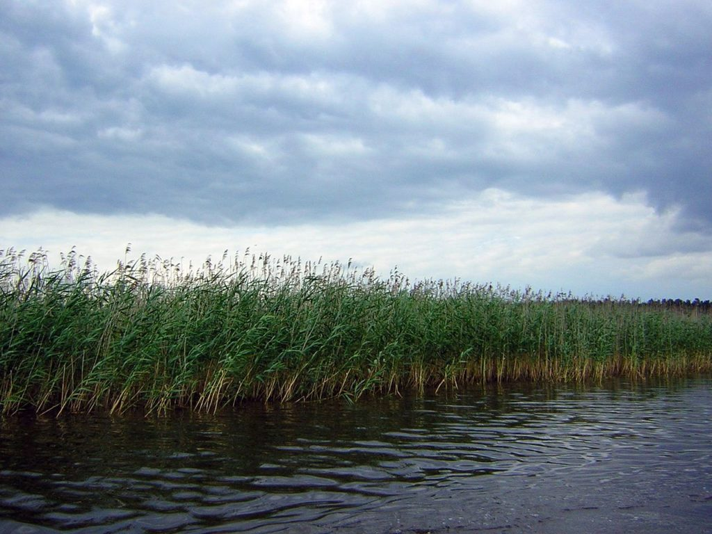 Jeziorak trzciny